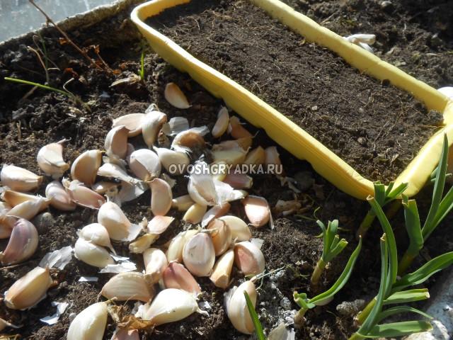Чеснок на посадку, зубки, дольки, выгонка чеснока на зелень, посев чеснока, выращивание зелени на подоконнике,