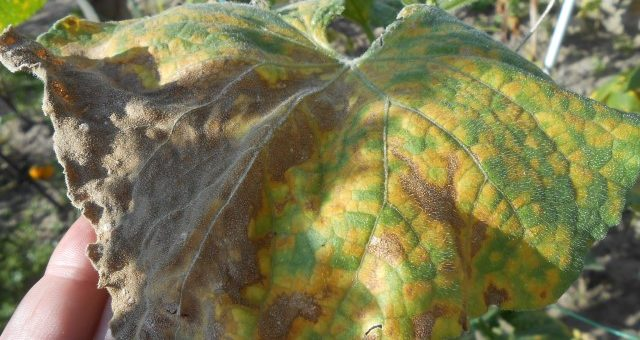 Огурцы, желтые листья, болезни