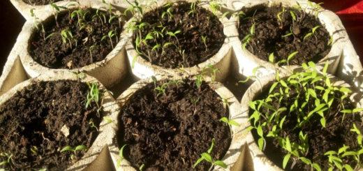 Рассада томатов, первые ростки помидоров