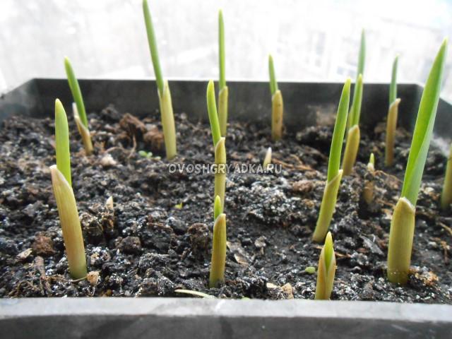 Ростки чеснока, выгонка чеснока на зелень, выращивание зелени на подоконнике, почва, грунт, земля