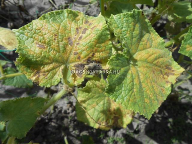 желтые листья, болезни