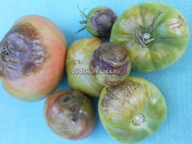 томаты пораженные фитофторой