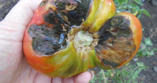 Фитофтороз томатов фитофтора помидоров