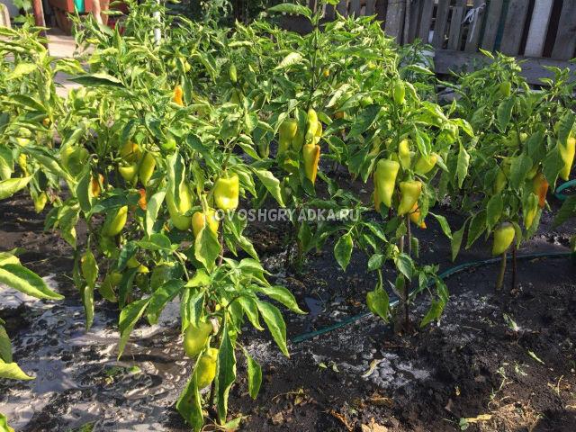 почему скручиваются листья у перцев