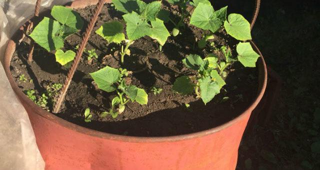 выращиваем огурцы в бочках