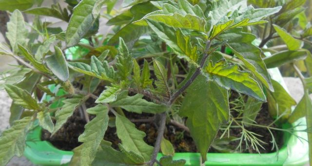 Томат, помидор, рассада томатов на балконе и подоконнике