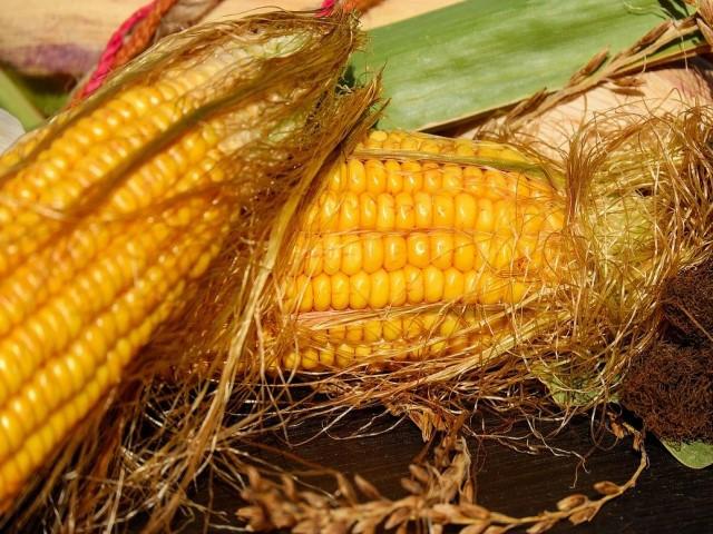 кукуруза как вырастить