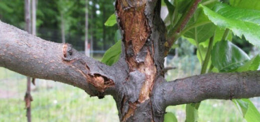 кора отслоилась на яблоне