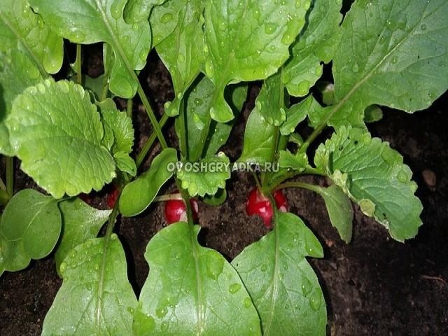 выращивание редиски на подоконнике