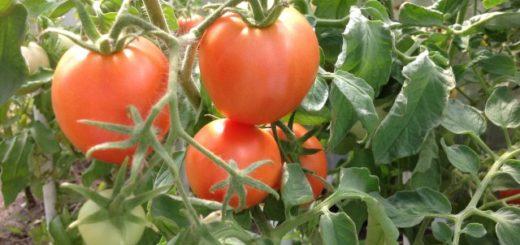 как пасынковать томаты