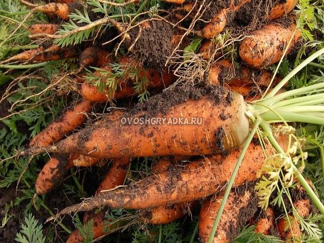 как хранить морковь дома