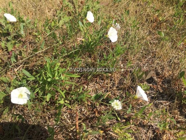 как избавиться от вьюнка полевого