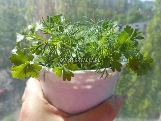 выращивание петрушки огородной на подоконнике