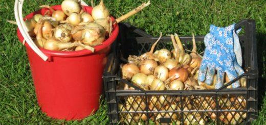 ССортировка урожая лука