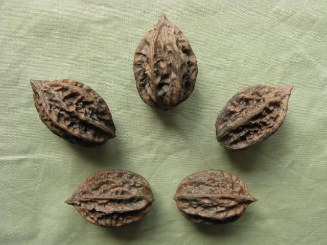 маньчжурский орех на садовом участке