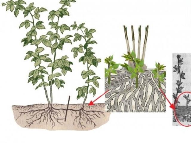 размножение малины поросолью