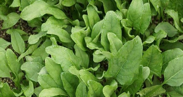 выращивание шпината в открытом грунте