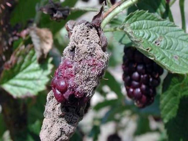 Серая гниль (ботритис) малины