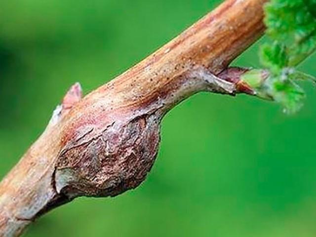 Стеблевой-рак малины