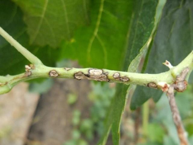 Язвенная пятнистость стеблей малины
